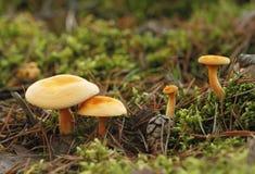 Ψεύτικο chanterelle, aurantiaca Hygrophoropsis Στοκ Εικόνες