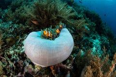 Ψεύτικο Clownfish στην Ινδονησία Στοκ Εικόνα