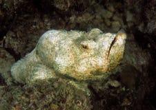 Ψεύτικο Stonefish, νησί Mabul, Sabah Στοκ Εικόνα
