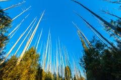 Ψηλά γυμνά δέντρα που ανακτούν από τις δασικές πυρκαγιές στοκ φωτογραφία με δικαίωμα ελεύθερης χρήσης