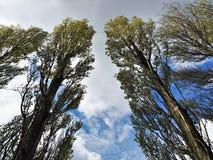 Ψηλά δέντρα λευκών ενάντια σε έναν νεφελώδη μπλε ουρανό Στοκ Εικόνες