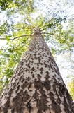 Ψηλά δέντρα λευκών της χαμηλής γωνίας της άποψης στοκ φωτογραφία