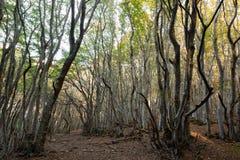 Ψηλά δέντρα οξιών σε Canfaito δασικό Marche, Ιταλία το φθινόπωρο Στοκ φωτογραφία με δικαίωμα ελεύθερης χρήσης