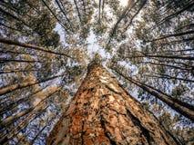 Ψηλά δέντρα πεύκων με το υπόβαθρο μπλε ουρανού Στοκ εικόνες με δικαίωμα ελεύθερης χρήσης