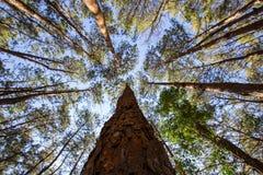 Ψηλά δέντρα πεύκων με το υπόβαθρο μπλε ουρανού Στοκ Φωτογραφία