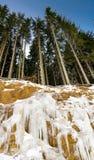 Ψηλά δέντρα πεύκων πέρα από έναν παγωμένο απότομο βράχο στοκ εικόνες