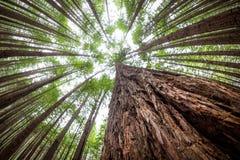 Ψηλά δέντρα στο δάσος redwoods, rotorua, Νέα Ζηλανδία στοκ φωτογραφίες