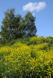 Ψηλά Crowfoot λουλούδια και δέντρα σημύδων Στοκ Εικόνες