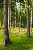 Ψηλά picea ερυθρελατών της Νορβηγίας δέντρα έλατων στη δασώδη περιοχή Ερυθρελάτες που αυξάνονται στο αειθαλές κωνοφόρο δάσος Στοκ Εικόνες