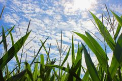 Ψηλή ανάπτυξη καλαμποκιού κάτω από έναν μπλε ουρανό Στοκ Φωτογραφίες