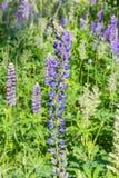 Ψηλή εκλεπτύνοντας ακίδα των μπλε λουλουδιών του άγριου αιώνιου lupine στοκ εικόνα