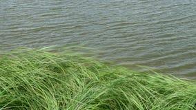Ψηλή πράσινη χλόη στον αέρα από τη λίμνη απόθεμα βίντεο