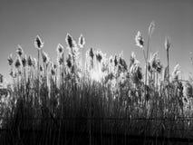 Ψηλή pampas Cortaderia χλόη σε έναν τομέα στο υπόβαθρο του ήλιου και του μπλε ουρανού ρύθμισης Φωτεινή ηλιόλουστη θερινή φωτογραφ Στοκ Φωτογραφίες