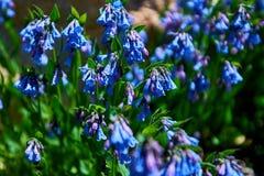Ψηλός βουνών τριχοφόρων Mertensia bluebells που πλαισιώνεται bluebells, πορφυρά και μπλε κουδούνια στα πόδια 11000 στα δύσκολα βο Στοκ Εικόνες