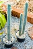 Ψηλός κάκτος στον κήπο στοκ εικόνες με δικαίωμα ελεύθερης χρήσης