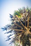 Ψηλός φοίνικας ζάχαρης (Borassus flabellifer), ανατρέχοντας κάτω από το BL Στοκ φωτογραφία με δικαίωμα ελεύθερης χρήσης