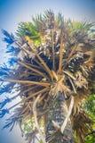 Ψηλός φοίνικας ζάχαρης (Borassus flabellifer), ανατρέχοντας κάτω από το BL Στοκ Εικόνες