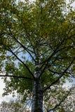 Ψηλό δέντρο κατά τη διάρκεια της εποχής φθινοπώρου με τα φύλλα που αλλάζουν τα χρώματα στοκ εικόνα