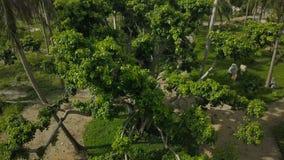 Ψηλό δέντρο στο πάρκο πόλεων μεταξύ της τροπικής εναέριας άποψης φοινικών Κορώνα και κλάδοι δέντρων άποψης κηφήνων άνωθεν υψηλοί  φιλμ μικρού μήκους