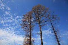 ψηλό δέντρο τρία Στοκ Φωτογραφίες