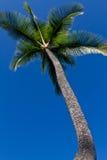 ψηλό δέντρο φοινικών Στοκ Εικόνα