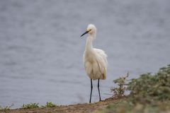 Ψηλό θαλάσσιο κυνήγι πουλιών για τους συντρόφους και τα τρόφιμα Στοκ Φωτογραφία