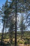 Ψηλό σκιαγραφημένο δέντρο πεύκων Στοκ φωτογραφία με δικαίωμα ελεύθερης χρήσης