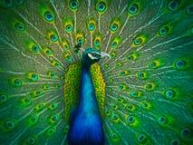 ψηφιακό αρσενικό που χρωματίζει peacock Στοκ Εικόνες