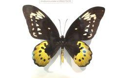 ψηφιακό fractal φαντασίας πεταλούδων παρήγαγε γραφικό Στοκ Εικόνα