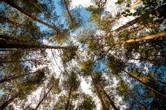 Ψηλά δέντρα πεύκων ενάντια στον ουρανό Στοκ Εικόνα