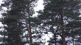 Ψηλά δέντρα πεύκων που ταλαντεύονται στον αέρα απόθεμα βίντεο