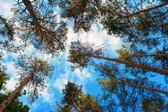 Ψηλά δέντρα πεύκων σε ένα υπόβαθρο των σύννεφων στο δάσος Στοκ φωτογραφία με δικαίωμα ελεύθερης χρήσης