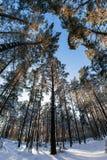 Ψηλά δέντρα πεύκων στο υπόβαθρο του χειμερινού ουρανού Στοκ φωτογραφίες με δικαίωμα ελεύθερης χρήσης