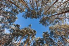 Ψηλά δέντρα πεύκων στο υπόβαθρο του χειμερινού ουρανού Στοκ Φωτογραφία