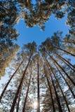 Ψηλά δέντρα πεύκων στο υπόβαθρο του χειμερινού ουρανού Στοκ φωτογραφία με δικαίωμα ελεύθερης χρήσης