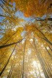 Ψηλά δέντρα στο δάσος φθινοπώρου Στοκ εικόνες με δικαίωμα ελεύθερης χρήσης