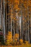 Ψηλά δέντρα της Aspen άσπρος-φλοιών με τα κίτρινα φύλλα Στοκ Φωτογραφία