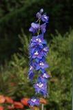 Ψηλά και μπλε λουλούδια Στοκ Εικόνα