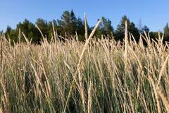 Ψηλή βέργα (arundinacea Festuca) Στοκ εικόνα με δικαίωμα ελεύθερης χρήσης