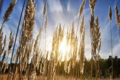 Ψηλή χλόη σε έναν τομέα στο υπόβαθρο του ήλιου και του μπλε ουρανού ρύθμισης Φωτεινή ηλιόλουστη θερινή φωτογραφία Χρυσά αυτιά της Στοκ Εικόνα