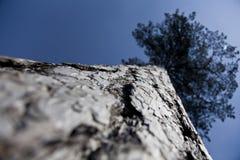 Ψηλός παλαιός κορμός δέντρων επάνω στον ουρανό στοκ φωτογραφία