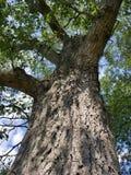 ψηλό δέντρο Στοκ Εικόνες
