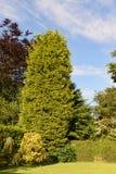 Ψηλό δέντρο leylandii Στοκ Εικόνα