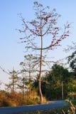 Ψηλό κόκκινο δέντρο Bombax Ceiba με τον αγροτικό δρόμο ασφάλτου Στοκ φωτογραφίες με δικαίωμα ελεύθερης χρήσης
