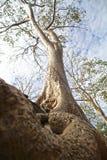 Ψηλό παλαιό δέντρο με τη μεγάλη ρίζα Στοκ Εικόνες
