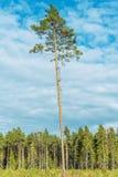 Ψηλό παλαιό πεύκο Στοκ Εικόνες