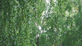 Ψιλή θερινή βροχή μεταξύ των δέντρων σημύδων απόθεμα βίντεο