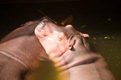 Ψυχρό έξω hippopotamus στον ποταμό Στοκ Εικόνες