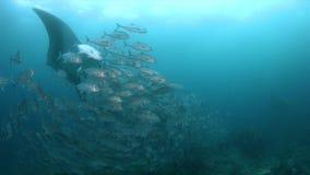 Ωκεάνεια ακτίνα manta σε Raja Ampat 4k απόθεμα βίντεο