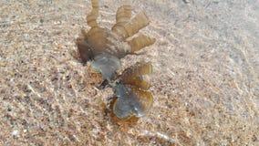 Ωκεάνεια χλωρίδα, θαλασσινά κοχύλια, φύκι Ινδία, Gokarna Στοκ φωτογραφία με δικαίωμα ελεύθερης χρήσης